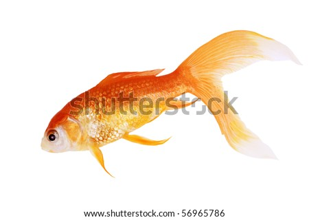 Dead gold fish isolated on white background
