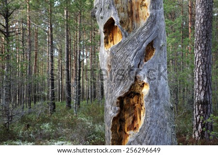 Dead gray barkless pine-tree trunk with holes covered with dry yellow resin. Photographed in N�µva, Estonia, Europe. - stock photo