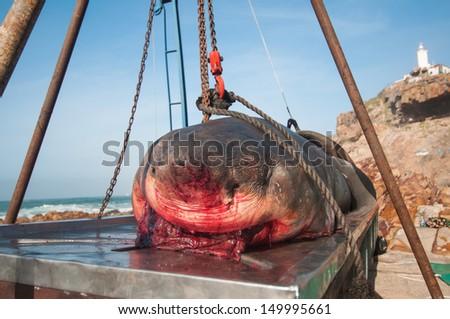 Dead Great White Shark - stock photo