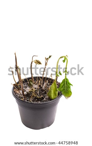 Dead home plant in a pot, isolated on white - stock photo