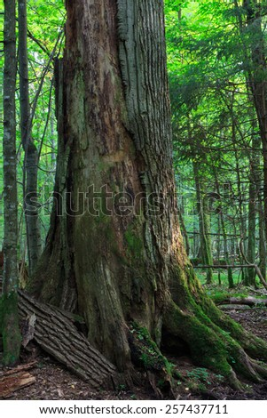 Dead huge oak tree without bark in morning against juvenile deciduous stand of Bialowieza Forest - stock photo