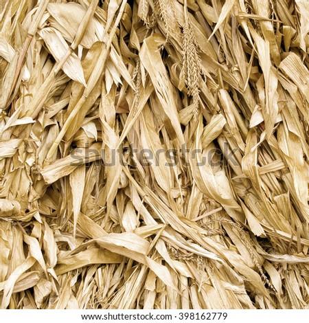 Dead leafs corn closeup background. - stock photo