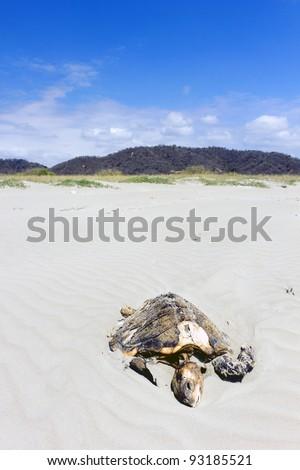 Dead loggerhead turtle on a beach on the Pacific coast of Ecuador. - stock photo