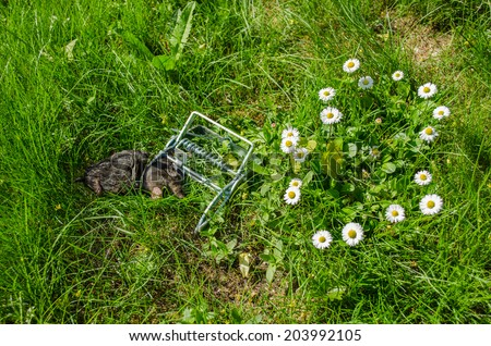 dead mole in the grip traps between the flowers in the meadow  - stock photo