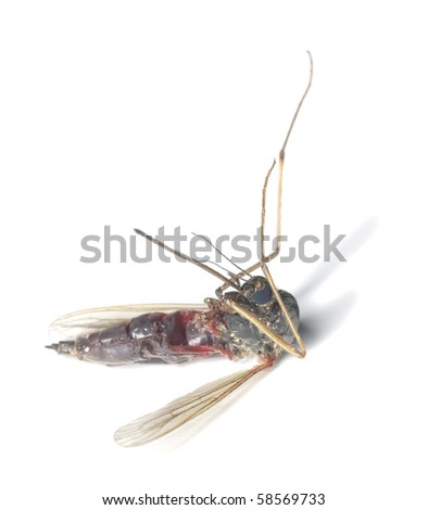Dead mosquito filled with human blood. - stock photo