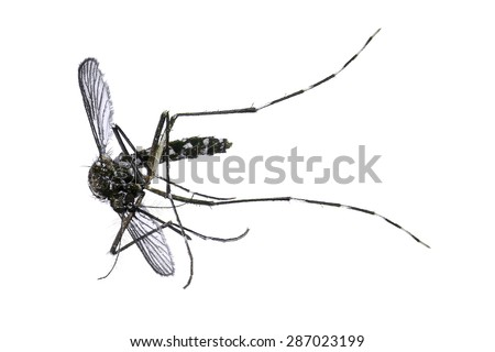 Dead mosquito isolated isolated on white background. Macro - stock photo