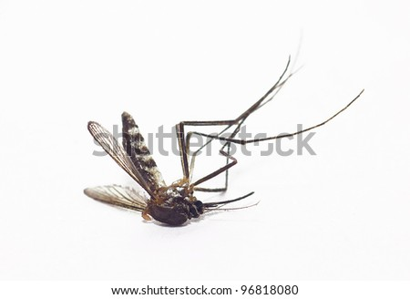 dead mosquito on isolated whited background