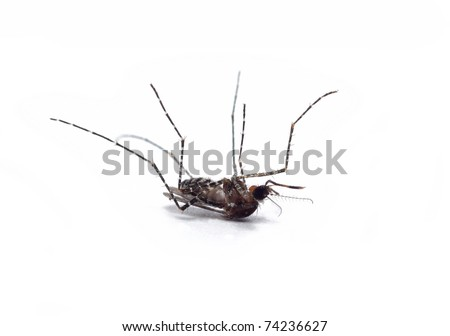 dead mosquito on white background - stock photo