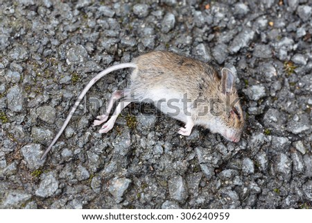 Dead mouse - stock photo