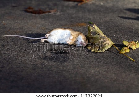 Dead Mouse - accidental death - stock photo