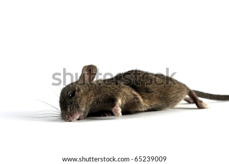 Dead mouse, isolated on white background