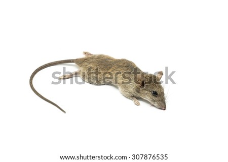 Dead mouse (rat) on a white background - stock photo