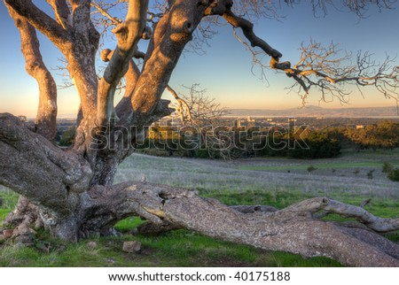 Dead Oak above Stanford in late afternoon - stock photo