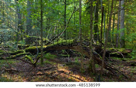 Dead oak lying moss wrapped among deciduous trees in summer, Bialowieza Forest, Poland, Europe