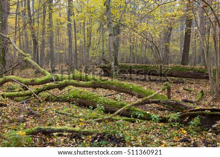 Dead oak lying moss wrapped among deciduous trees in summer,Bialowieza Forest,Poland,Europe
