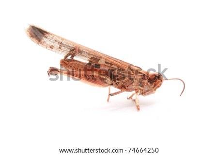 Dead or Dried Cricket isolated on white - stock photo