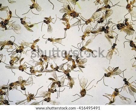 Dead parasitic insects in sticky traps - stock photo