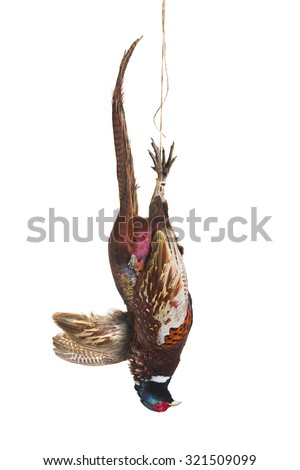 Dead pheasant hanging on a rope isolated on white - stock photo