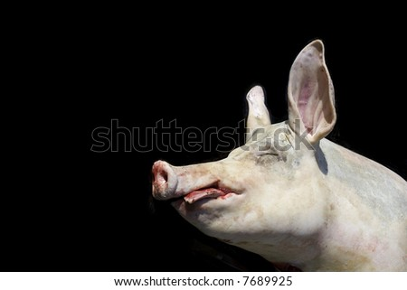Dead pig over black background for latter use. - stock photo