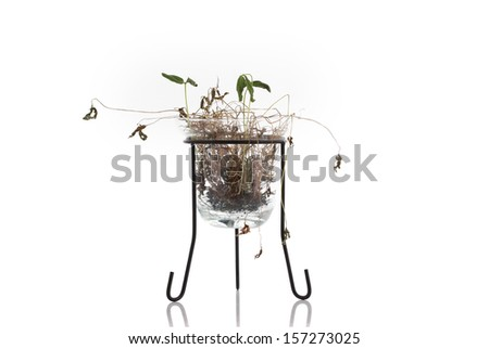 dead plant in pot isolated on white background - stock photo