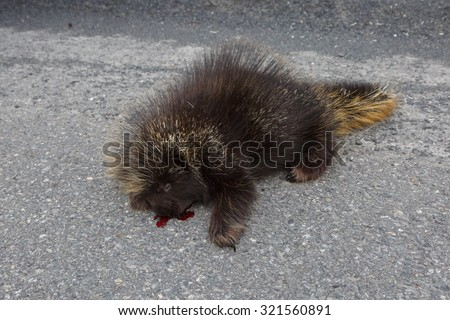 Dead porcupine, roadkill  - stock photo