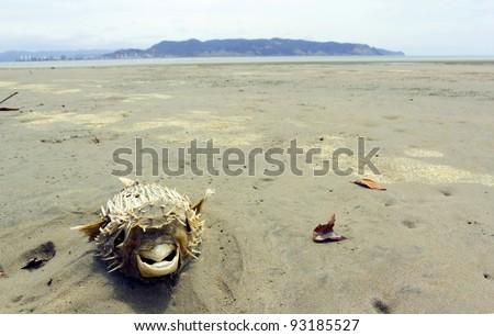 Dead pufferfish on a beach on the Pacific coast of Ecuador - stock photo