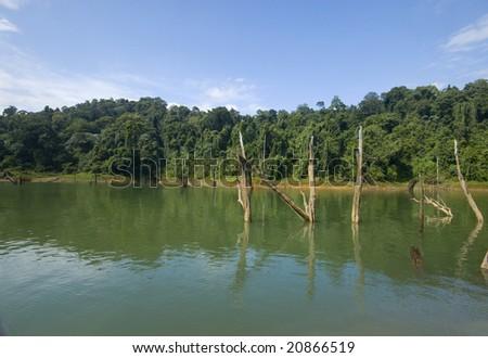 Dead rainforest tree stumps on calm lake. - stock photo