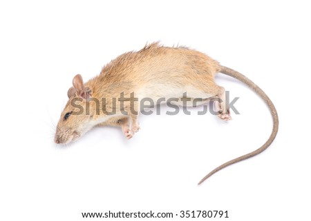 Dead rat and mouse Isolated on White Background - stock photo