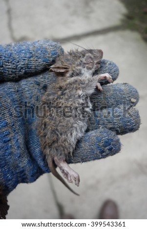 Dead rat in a hand
