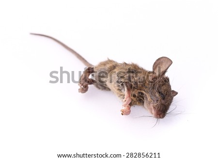 Dead rat isolate on a white background