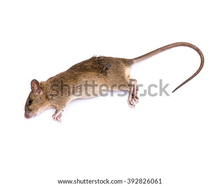 Dead rat (mouse) with feet and long tail isolated on white background. Die animal concept with copyspace. - stock photo