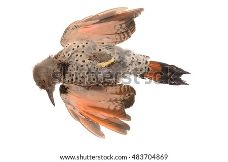 Dead Red-Shafted Northern Flicker (Colaptes auratus cafer) isolated on white, killed by flying into glass window