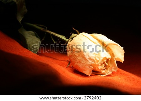 dead rose - stock photo