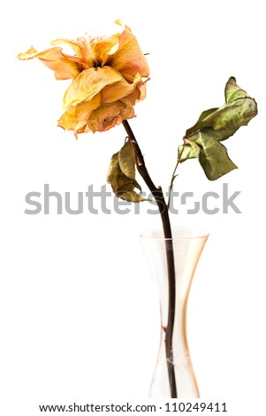 Dead rose in a crystal glass bud vase, isolated. - stock photo