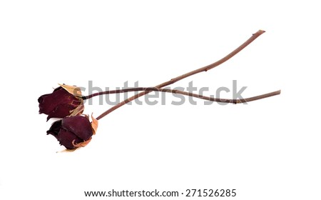 Dead rose on white background.