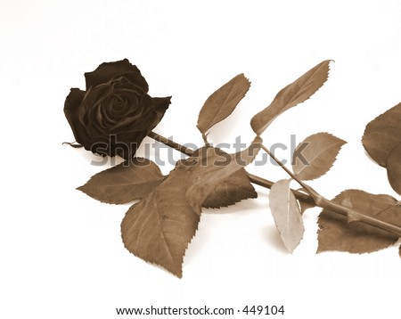 dead sepia rose laying on the white background