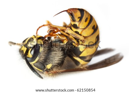 Dead stinging bee or wasp wing animal insect macro - stock photo