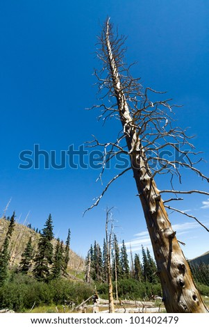 Dead tree after a forest fire in the Colorado Rocky Mountains - stock photo