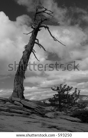 Dead tree at the summit of Sentinel Dome, Yosemite NP. - stock photo