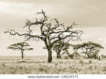 Dead tree in Serengeti National Park - Tanzania, Africa (stylized retro) - stock photo