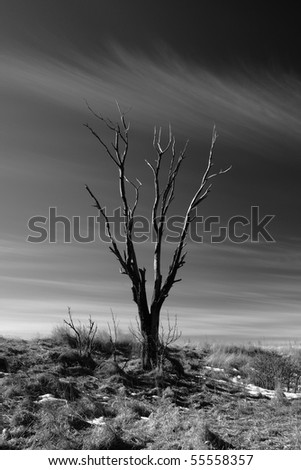 Dead tree silhouette - stock photo
