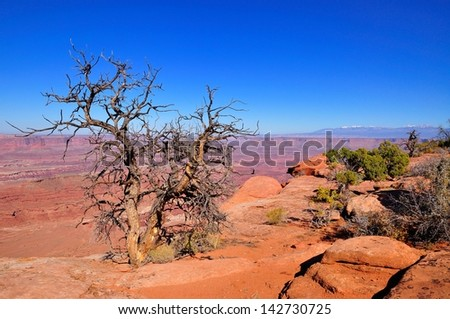 Dead tree with Canyonlands in background, seen from Dead Horse Point, near Moab, Utah - stock photo
