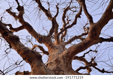 Dead tree with clear blue sky background, Tree without leaves but still alive. - stock photo