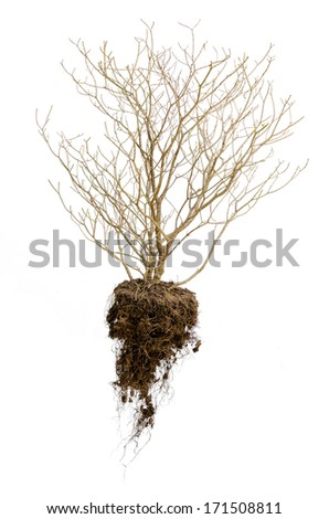 Dead tree with roots hold the soil isolated on white background