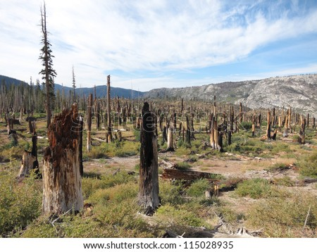 Dead trees after forest fire - stock photo