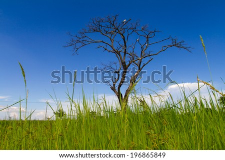 Dead trees dry naturally in the field, with the sky as a backdrop  - stock photo