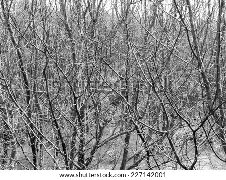 Dead trees / Mangrove wood drying in thailand / Black and white - stock photo