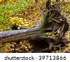 Dead uprooted maple tree in the forest - stock photo