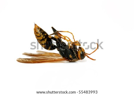 Dead wasp - stock photo