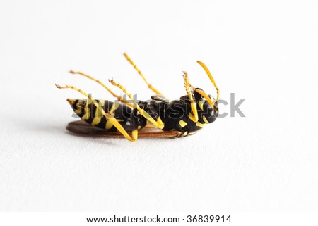 Dead wasp (Dolichovespula Vulgaris), macro on white background - stock photo